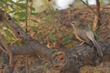 Large Grey Babbler (Turdoides malcolmi)