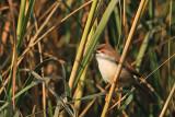Yellow-eyed Babbler ( Chrysomma sinense )