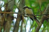Passeriformes : Rhipiduridae
