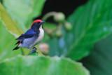 PASSERIFORMES : Dicaeidae