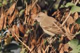 PASSERIFORMES: Passeridae (sparrow)