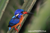Blue-eared Kingfisher (Alcedo meninting), Female