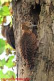Rufous Woodpecker ( Celeus brachyurus )