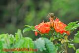 Yellow-eared Spiderhunter (Arachnothera chrysogenys)