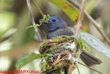 Passeriformes : Monarchidae