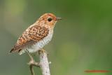 Plaintive Cuckoo, juvenile