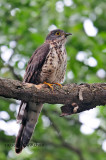 Large Hawk Cuckoo (Cuculus sparverioides) ; Juvenile