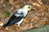Black-winged Starling ( Acridotheres melanopterus )