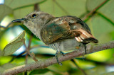 Little Bronze-Cuckoo , Female