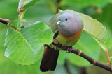 Pink-necked Green Pigeon(MALE)