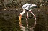 Painted Stork (Mycteria leucocephala)