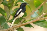 Oriental Magpie-Robin ( Copsychus saularis ), Male