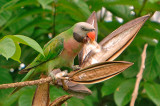 Red-breasted Parakeet ( Psittacula alexandri )