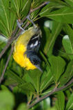 Common Iora, Male (Aegithina tiphia)