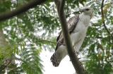 Changeable Hawk Eagle, Juvenile