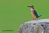 Common Kingfisher (Alcedo atthis), juvenile