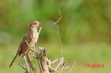 Plaintive Cuckoo (Cacomantis merulinus).