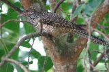 Asia Koel, Female