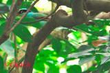 Green magpie ( Cissa chinensis )