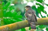 Malaysian Hawk Cuckoo ( Cuculus fugax )