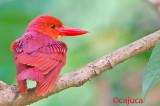 Ruddy Kingfisher ( Halcyon coromanda )