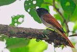 BM - Asian Paradise  Flycatcher ( Terpsiphone paradisi )