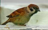 Eurasian Tree Sparrow ( Passer montanus )