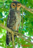 Spotted Wood-Owl ( Strix seloputo )