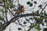 Japanese Sparrowhawk ( Accipiter gularis )??