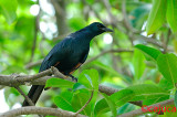 Red winged starling ( Onycognathus morio )