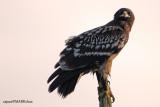 Greater Spotted Eagle ( Aquila clanga )
