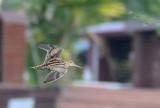 Common Snipe (Gallinago gallinago)