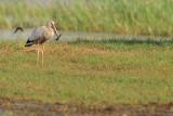 Asian Openbill Stork ( Anastomus oscitans )