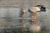Asian Openbill Stork ( Anastomus oscitans )