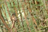 PASSERIFORMES: Sylviidae (Warbler ; tailorbird  )