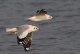 Brown-headed Gull ( Larus brunnicephalus )