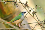 Pin-tailed Parrotfinch (Female)