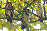 Spotted Wood Owl : Family