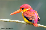Rufous-backed Kingfisher ( Ceyx rufidorsa )