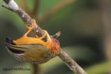 Rufous Piculet (Sasia abnormis)
