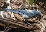 Florida Scrub Jay