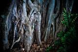 Banyan tree, Kailua Kona, Big Island, Hawaii
