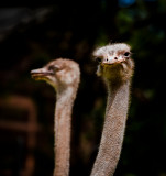Two-headed Ostrich  : )