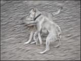 dogsplay_1010851w.jpg