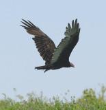 Turkey Vulture Takeoff