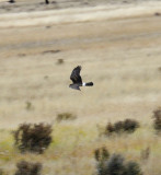 Amazing - A Northern Harrier (2 Images)