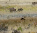Northern Harrier - Juvenile