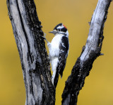 Downy Woodpecker (3 Images)