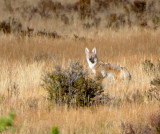 Late Afternoon Coyote (4 Images)