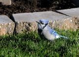 Mr Ornery Blue Jay